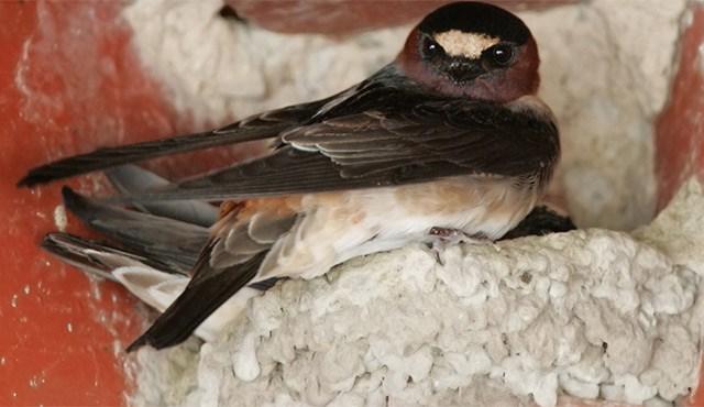Swallow-WEB