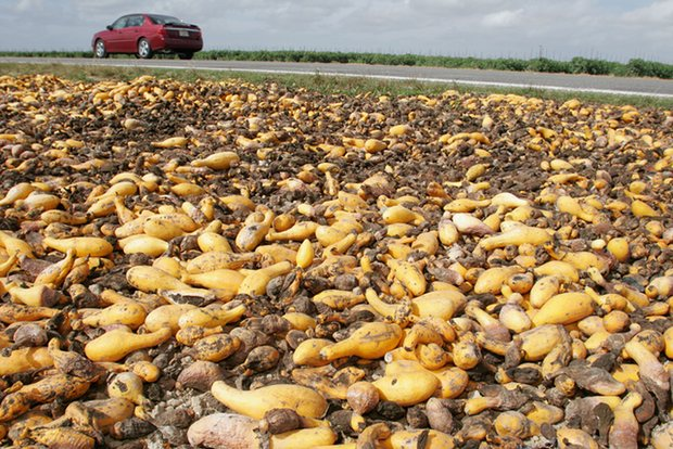 Squash left to rot in a field in Florida. Globally, about one-third of food is wasted: a total of 1.6bn tonnes a year. (Photograph: Alamy)
